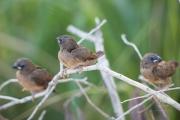 <h5>Crimson Finch</h5><p>Chicks - Neochmia phaeton</p>