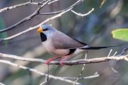 <h5>Long-tailed Finch</h5><p>Poephila acuticauda</p>