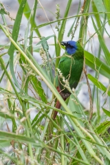 <h5>Blue-faced Parrot Finch</h5><p>Erythrura trichroa</p>