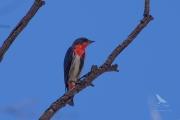 <h5>Mistleoebird</h5><p>Dicaeum hirundinaceum</p>