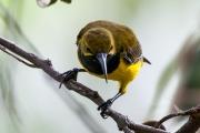 <h5>Olive-backed Sunbird</h5><p>Nectarinia jugularis</p>