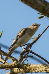<h5>Oriental Reed-warbler</h5><p>Acrocephalus orientalis</p>