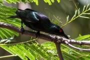 <h5>Metalic Starling</h5><p>Aplornis metallica</p>