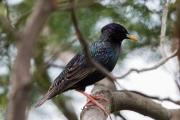 <h5>Common Starling</h5><p>Sturnus vulgaris</p>