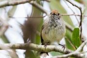 <h5>Little Grassbird</h5><p>Megalurus gramineus</p>