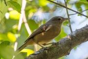 <h5>Australian Reed-warbler</h5><p>Acrocephalus australis</p>