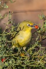 <h5>Yellow White-eye</h5><p>Zosterops luteus</p>