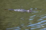 <h5>Platypus</h5><p>Ornithorhynchus anatinus</p>