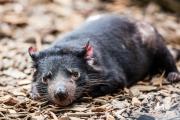 <h5>Tasmanian Devil</h5>