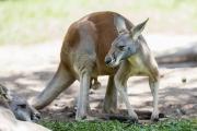 <h5>Red Kangaroo</h5>