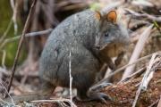 <h5>Tasmanian Paddymelon</h5>
