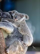 <h5>Koala</h5>