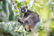 <h5>Tree Kangaroo</h5>