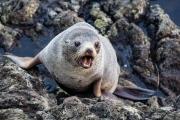 <h5>New Zealand Fur Seal</h5>
