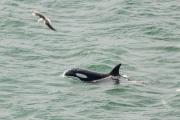 <h5>Killer Whale</h5>