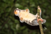 <h5>Common Spotted Cuscus</h5>