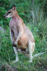 <h5>Agile Wallaby</h5>