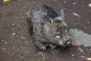 <h5>Southern Hairy-nosed Wombat</h5>