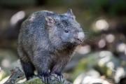 <h5>Common Wombat</h5><p>Vombatus ursinus</p>