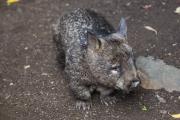 <h5>Southern Hairy-nosed Wombat </h5><p>Lasiorhinus latifrons</p>