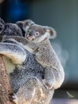 <h5>Koala</h5><p>Phascolarctos cinereus</p>