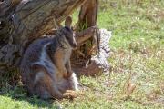 <h5>Bridled Nailtail Wallaby</h5><p>Onychgalea fraenata</p>