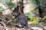 <h5>Red-necked Wallaby</h5><p>Macropus rufogriseus rufgriseus</p>