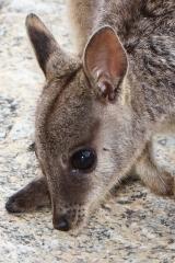 <h5>Mareba Rock-wallaby</h5><p>Petrogale mareeba</p>