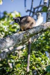 <h5>Lumholtz Tree Kangaroo</h5><p>Dendrolagus lumholtzi</p>