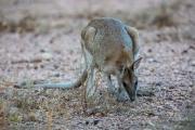 <h5>Agile Wallaby</h5><p>Macropus agilis</p>