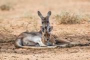 <h5>Red Kangaroo</h5><p>Macropus rufus</p>