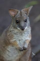 <h5>Parma Wallaby</h5><p>Macropus parma</p>