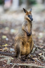 <h5>Swamp Wallaby</h5><p>Wallabia bicolor</p>