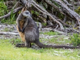 <h5>Swamp Wallaby</h5><p>Wallabia bicolor (Black Wallaby in Victoria as this is)</p>