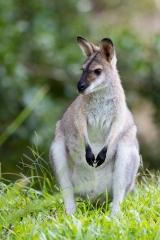 <h5>Black-striped Wallaby</h5><p>Macropus dorsalis</p>