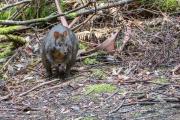 <h5>Tasmanian Pademelon</h5><p>Thylogale billardierii</p>