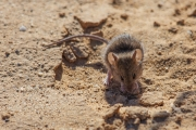 <h5>House Mouse</h5><p>Mus musculus, found in central Australia</p>