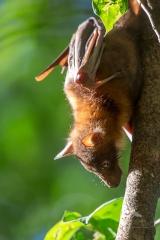 <h5>Little Red Flying-fox</h5><p>Pteropus scapulatus</p>
