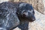 <h5>New Zealand Fur-seal</h5><p>Arctocephalus forsteri</p>