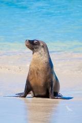 <h5>Australian Sea-lion</h5><p>Neophoca cinerea</p>