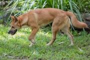 <h5>Dingo</h5><p>Canus lupus dingo</p>