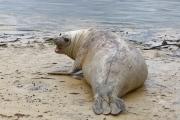 <h5>Southern Elephant Seal</h5><p>Mirounga leonine (female)</p>