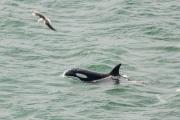 <h5>Killer Whale</h5><p>Orcinus orca</p>