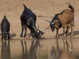 <h5>Feral Goats</h5><p>Capra aegagrus hircus</p>