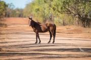 <h5>Brumby</h5><p>Equus ferus caballus</p>