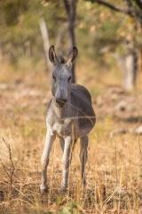 <h5>Feral Donkey</h5><p>Equus africanus asinus</p>