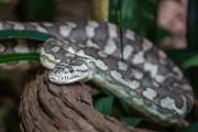 <h5>Jungle Carpet Python</h5><p></p>