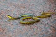 <h5>Common Tree Snake</h5><p></p>