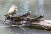 <h5>Saw-shelled Turtle</h5><p></p>
