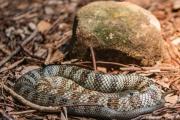 <h5>Eastern Tiger Snake</h5><p></p>